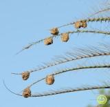 28 Southern masked weaver or African masked weaver nests.jpg