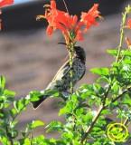 29 Amethyst sunbird aka Black sunbird Chalcomitra amethystina Tala game reserve Durban 2018.jpg