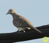 35 Zebra dove aka Barred ground dove Geopelia striata La Reunion 2018.jpg