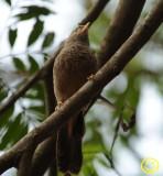39 Yellow-billed babbler or white-headed babbler Turdoides affinis Colombo 2018.jpg