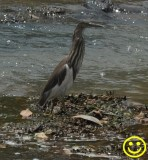 41 Indian pond heron or paddybird Ardeola grayii Colombo 2018.jpg