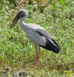 48 Asian openbill Stork Anastomus oscitans Bundala National Park Sri Lanka 2018.jpg