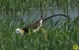 55 Pheasant tailed Jacana Hydrophasianus chirurgus Bundala National Park Sri Lanka 2018.jpg