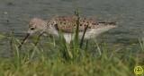 58 Marsh sandpiper Tringa stagnatillis Bundala National Park Sri Lanka 2018.jpg