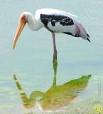60 Painted stork Mycteria leucocephala Bundala National Park Sri Lanka 2018.jpg