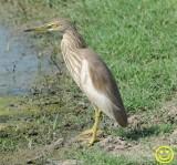 61 Chinese pond heron Ardeola bacchus Bundala National Park Sri Lanka 2018.jpg