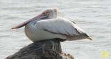 70 Spot-billed pelican Pelecanus phillppensis Bundala National Park Sri Lanka 2018.jpg