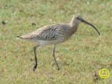 81 Eurasian curlew Numenius arquata Bundala National Park Sri Lanka 2018.jpg