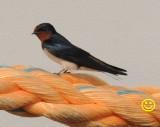 86 Pacific swallow Hirundo tahitica Thilawa Myanmar 2018.jpg
