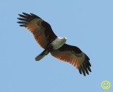 90 Brahminy kite Haliastur indus Phuket Thailand 2018.jpg