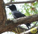 92 Large-billed crow Corvus macrorhynchos Porto Malai Langkawi Malaysia 2018.jpg