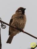 005 Eurasian tree sparrow Passer montanus Hong Kong 2018.jpg