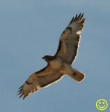 0009 Red-tailed Hawk Buteo jamaicensis Nevada 2018.J.jpg