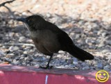 0011 Great-tailed grackle or Mexican grackle Quiscalus mexicanus female Las Vegas 2018.jpg