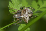 Gibbaranea bituberculata