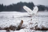 O'er the Fields: Female Snowy Owl