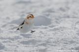 Dashing through the Snow: Snow Bunting