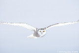 Hovering 2: Female Snowy Owl