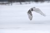 Taking Off: Female Snowy Owl: SERIES of Two Images