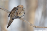 Soaking Up the Morning Sun: Mourning Dove