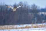 Hunting: Short-eared Owl: SERIES of Six Images