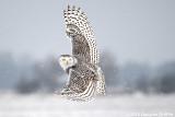 You Rang?? Female Snowy Owl