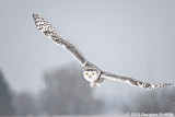Female Snowy Owl in a Snowstorm