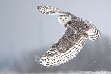 Female Snowy Owl in a Snow Squall_2