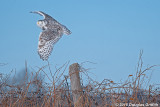 Flying the Fence Line: Female Snowy Owl