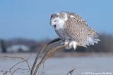 Screaming: Female Snowy Owl