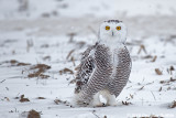 The EYES Have it: Female Snowy Owl