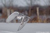 A Spash of Colour: Female Snowy Owl Flying Away from a Fence Line