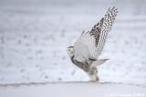 Take Off: Female Snowy Owl