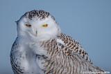 Portrait of a Female Snowy Owl