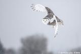 Agile: Female Snowy Owl