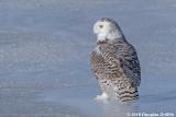 Female Snowy Owl on Ice
