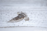 Lift Off: Female Snowy Owl