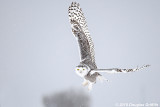 Female Snowy Owl in a Snow Squall