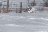 Cruising the Fence Line: Female Snowy Owl