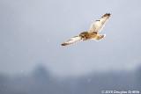 Hunting: Short-eared Owl