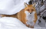 Red Fox Vixen (Female)
