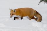 The Stalker: Red Fox Vixen