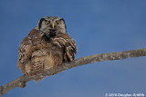 Here's Looking at you: Northern Hawk Owl (Male)