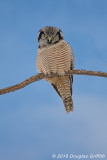 Northern Hawk Owl (Male)