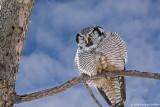 Male Northern Hawk Owl