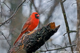 Male Northern Cardinal in the Rain