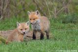 Siblings: Red Fox Kits (Vulpes vulpes)