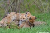 The Sentry: Red Fox Kits (Vulpes vulpes)