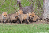 Is Five on One Fair? - Red Fox Kits (Vulpes vulpes)