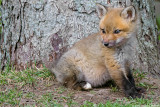 White Foot: Red Fox Kit at Five Weeks